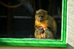 Молодая обезьяна стоковые фото