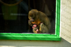 Молодая обезьяна стоковое фото rf