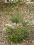 Молодая ординарность сосны (sylvestris l Pinus ) растет в лете стоковое изображение rf