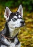 Молодая осиплая голова собаки Стоковое фото RF