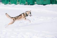 Молодая осиплая игра собаки, бег внешний в снеге, зима Стоковое Фото