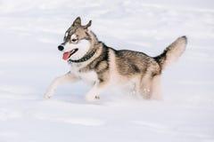 Молодая осиплая игра собаки, бег внешний в снеге, зима Стоковое фото RF