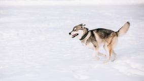Молодая осиплая игра собаки, бег внешний в снеге, зима Стоковая Фотография