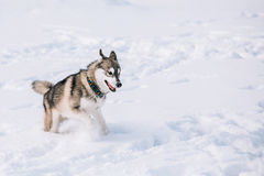 Молодая осиплая игра собаки, бег внешний в снеге, зима Стоковая Фотография RF