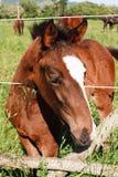 Молодая лошадь новичка Стоковое Фото
