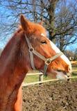 Молодая лошадь Стоковые Изображения RF