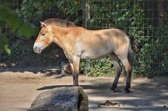 Молодая лошадь Стоковое Изображение RF