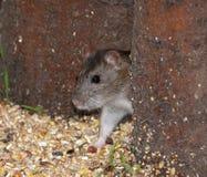 Молодая одичалая крыса Брайна стоковое фото