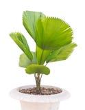 Молодая пальма Стоковое фото RF