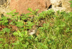 Молодая птица воробья Стоковые Фотографии RF