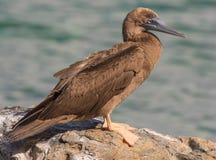 Молодая птица олуха Брайна стоковая фотография