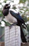Молодая птица, сорока Стоковое Изображение RF