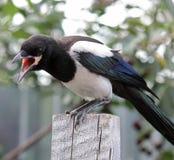 Молодая птица, сорока Стоковые Фотографии RF