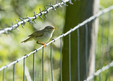 Молодая птица Chiffchaff садить на насест на загородке колючей проволоки Стоковое Фото