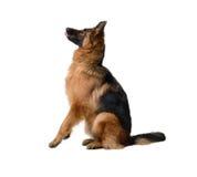 Молодая пушистая собака немецкой овчарки в выставке стоя против белой предпосылки Чистоплеменная собака в шкафе Стоковые Изображения