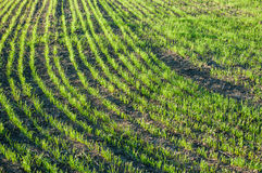 Молодая пшеница в поле Стоковые Изображения RF