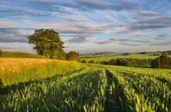 Молодая пшеница Стоковое фото RF