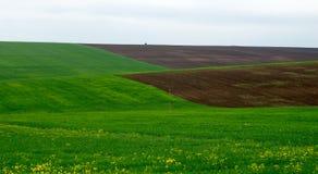 Молодая пшеница Стоковые Изображения RF