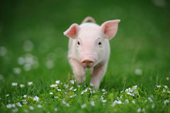 Молодая свинья на зеленой траве стоковые фотографии rf
