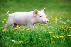 Молодая свинья на зеленой траве Стоковые Фото