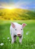 Молодая свинья на зеленой траве стоковое изображение rf