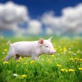 Молодая свинья на зеленой траве стоковая фотография rf