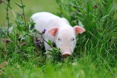Молодая свинья на зеленой траве стоковое изображение