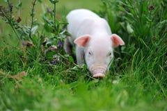 Молодая свинья на зеленой траве стоковое фото