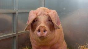 Молодая свинья на сене и солома на свинье показывают Стоковое фото RF