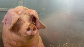 Молодая свинья на сене и солома на свинье показывают Стоковое Изображение RF