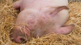 Молодая свинья на сене и солома на свинье показывают Стоковая Фотография
