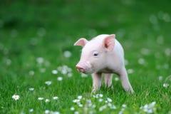 Молодая свинья Стоковое Изображение RF