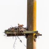 Молодая скопа в гнезде Стоковое Изображение