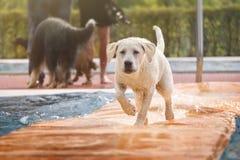 Молодая собака бежать над водой в бассейне Стоковая Фотография