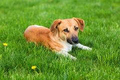Молодая собака лежа в зеленой траве для пользы предпосылки Стоковое фото RF