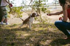 Молодая собака разводит бигля идя в парк outdoors стоковые фотографии rf