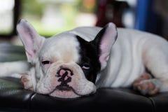 Молодая собака французского бульдога Стоковое Изображение