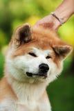 Молодая собака inu akita outdoors на зеленой траве Стоковое фото RF