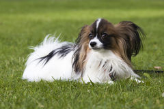 Молодая собака papillion на траве Стоковые Фото