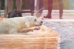 Молодая собака retriever labrador играет в бассейне Стоковые Изображения