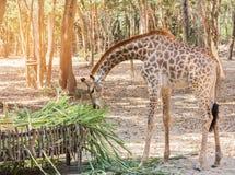 Молодая стойка жирафа есть траву от кормушки Стоковое Изображение RF