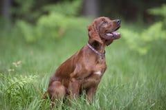 Молодая счастливая собака сидя в зеленой траве Стоковое Изображение RF