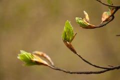 Молодая хворостина листвы Стоковая Фотография