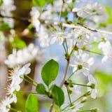 Молодая хворостина с белыми цветениями весны Стоковое Фото