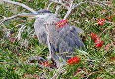 Молодая цапля в дереве Стоковые Фотографии RF
