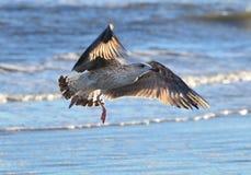 Молодая чайка в полете Стоковое фото RF