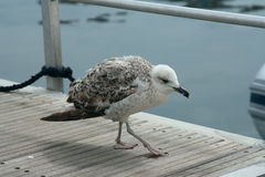 Молодая чайка Стоковые Фотографии RF