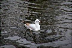 Молодая чайка Стоковое Изображение RF