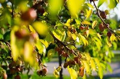 Молодая яблоня Стоковое фото RF