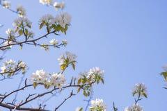 Молодая blossoming яблоня на предпосылке неба с солнечным светом Стоковые Фото
